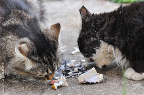 fluffy cats eats fish s remains two norwegian cats ets buy this