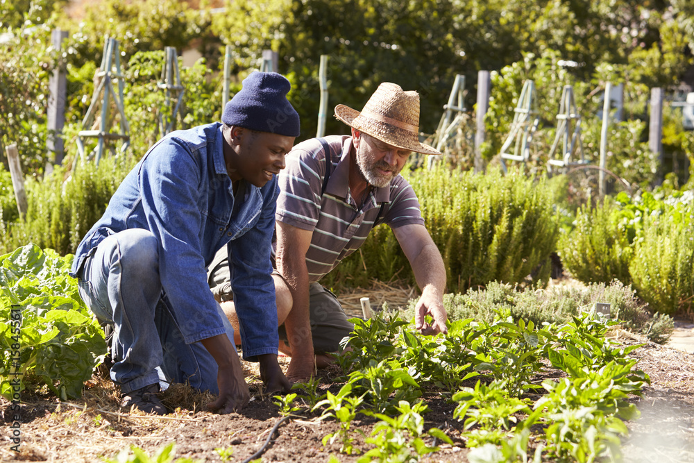 Fototapety, obrazy: Two Men Working Together On Community Allotment
