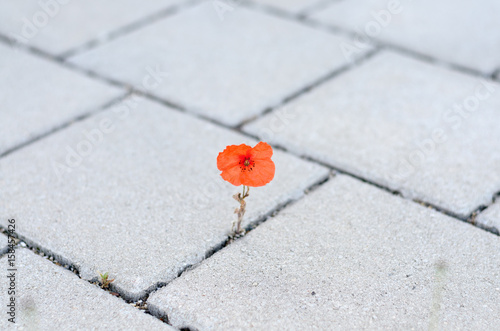 Valokuva  Single red corn poppy sprouting between paving