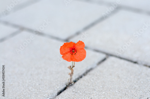 Fényképezés Single red corn poppy sprouting between paving