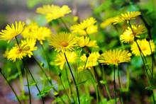Yellow Daisy Meadow