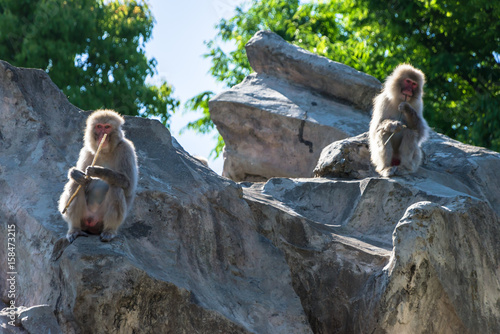 Fotografie, Obraz  Japanese macaque - ニホンザル4