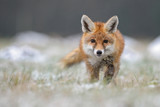 Fototapeta Animals - Red Fox in winter fox