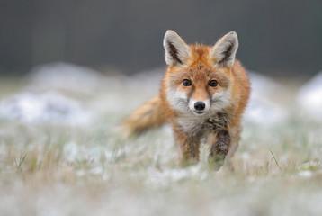 Red Fox in winter fox