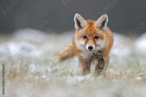 Red Fox in winter fox Canvas Print