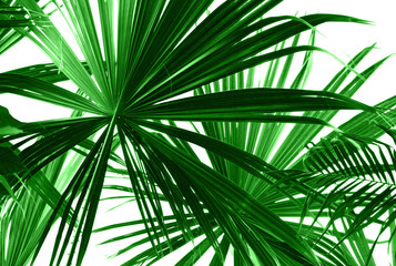 Fototapeta Liście Abstract green palm leaves on white closeup.
