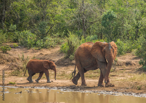 African savannah elephant mother with her child at a waterhole at the Hluhluwe i Canvas Print