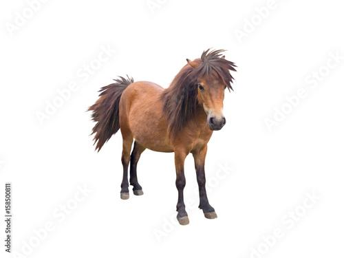 Photo  Brown pony horse
