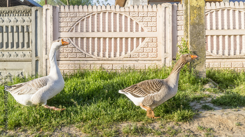 Photo Two beautiful white and gray geese walk in the sun in the rural village of Tocen