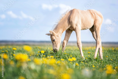 Leinwand Poster Palomino foal grazing grass on a pasture.