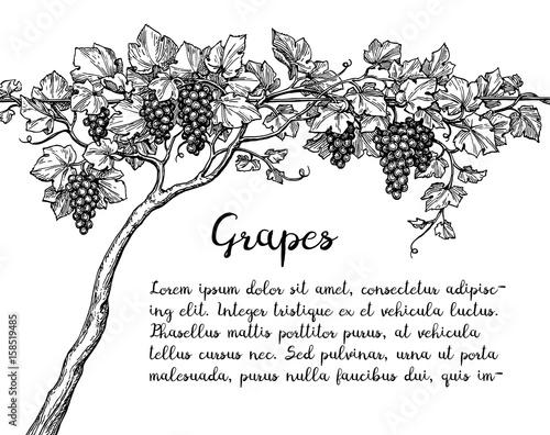 Grapevine ink sketch Fototapete