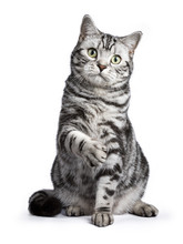 Black Tabby British Shorthair ...