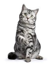 Black Tabby British Shorthair ...