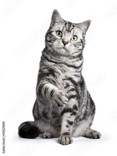 Photo Black tabby British shorthair cat sitting straight up with lifted paw on white b