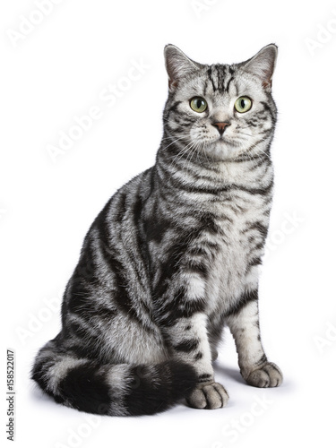 Black tabby British shorthair cat sitting straight up on white background lookin Wallpaper Mural