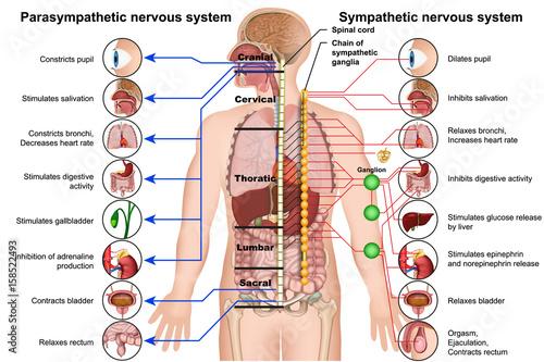 Obraz na plátně  Sympathetic and parasympathetic nervous system