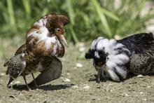 Lekking Behaviour. Competitive Breeding Male Ruff Wading Bird Displaying Feathers