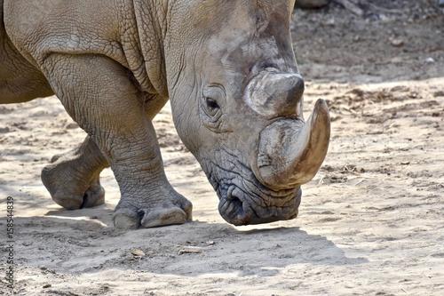 Fényképezés  Southern White Rhino (Ceratotherium simum simum)