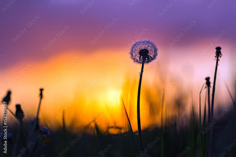Fototapety, obrazy: dandelion in sunset light