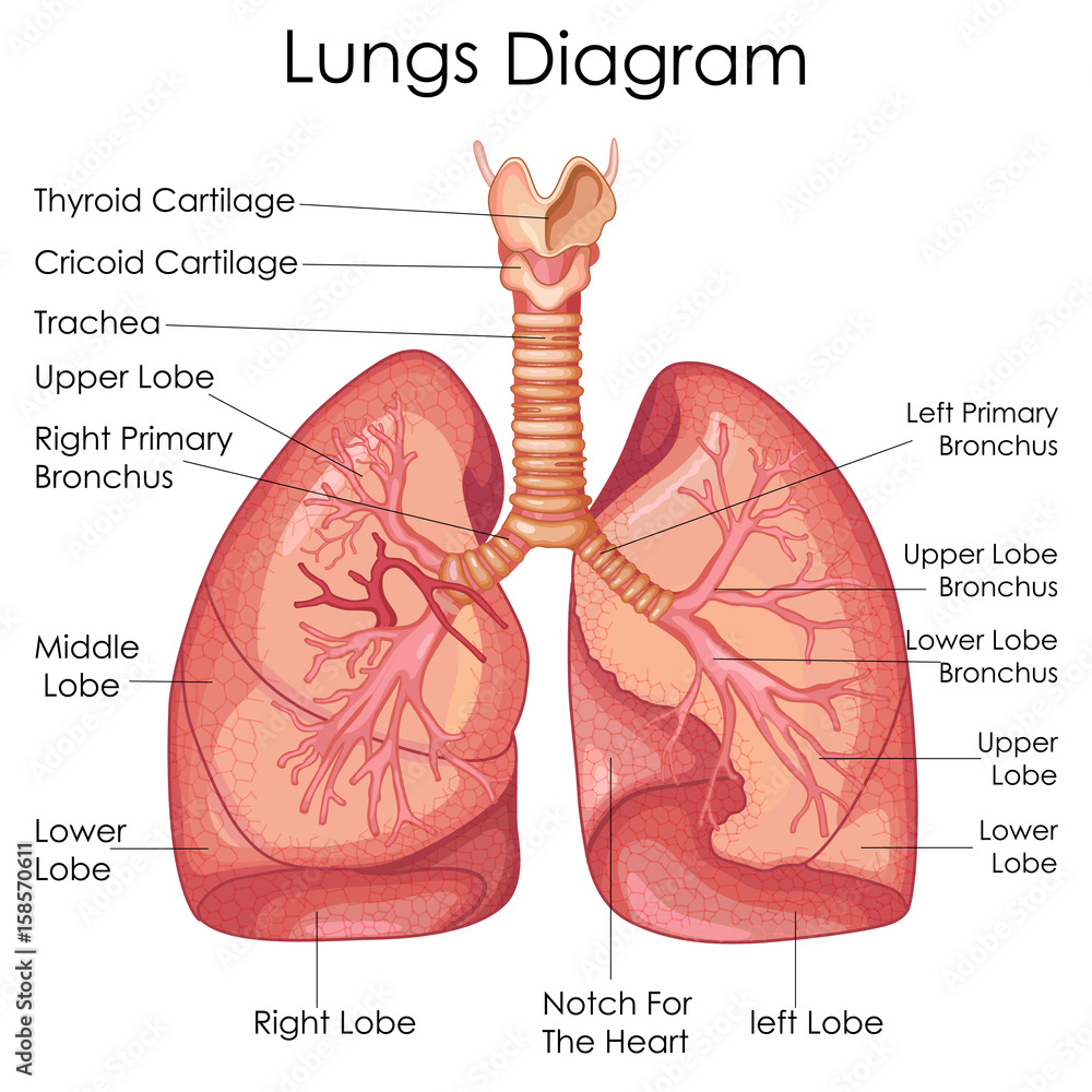 Medical Education Chart Of Biology For Lungs Diagram Foto Poster