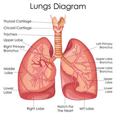 FototapetaMedical Education Chart of Biology for Lungs Diagram