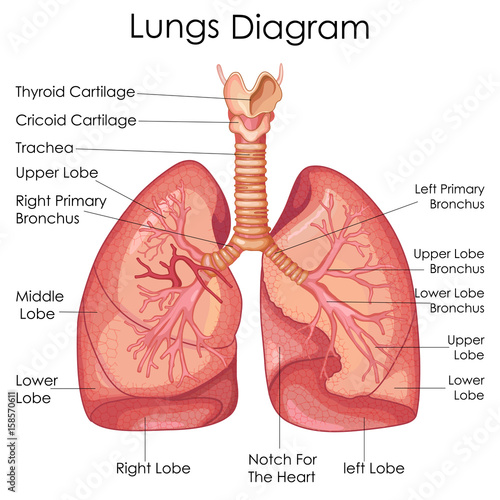 Obraz Medical Education Chart of Biology for Lungs Diagram - fototapety do salonu