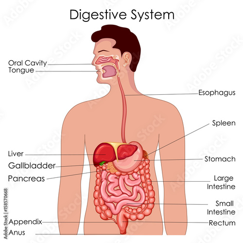 Fotografie, Tablou  Medical Education Chart of Biology for Digestive System Diagram
