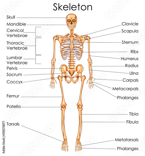 Medical Education Chart of Biology for Human Skeleton ...