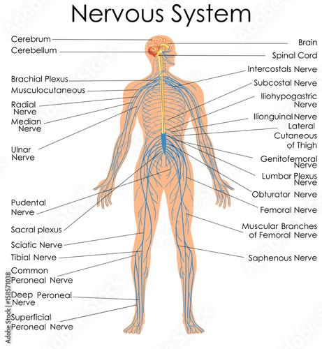Fotografía  Medical Education Chart of Biology for Nervous System Diagram