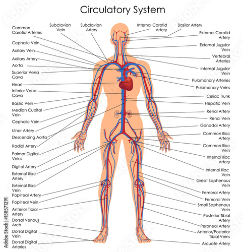 Medical Education Chart Of Biology For Circulatory System Diagram