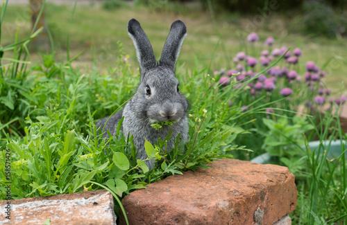 Plakat mały szary królik / Szary królik siedzi w łóżku ziołowym i je