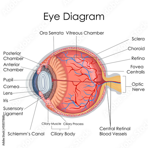 Medical Education Chart of Biology for Eye internal ... on internal process, internal drawing, internal device, internal filter, internal letter, internal organs, internal anatomy,