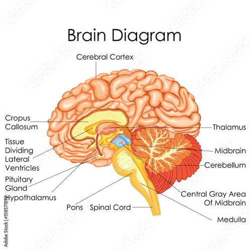 Medical education chart of biology for human brain diagram buy medical education chart of biology for human brain diagram ccuart Choice Image