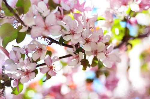 Obrazy kwiat jabłoni   kwitnaca-jablon-kolor-wiosenny-kwitnace-drzewo-sad-jablkowy