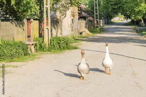 Two beautiful white and gray geese walk in the sun in the rural village of Tocen Canvas Print