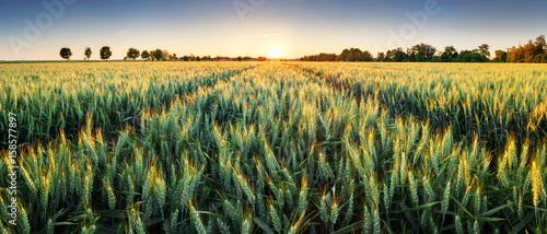 Foto op Plexiglas Weide, Moeras Wheat field at sunset, panorama