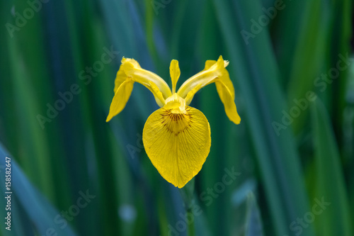 Closeup of a yellow flag iris flower in Isabella Plantation, a woodland garden in Richmond Park in south west London