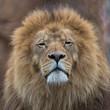 Lion, head, mane
