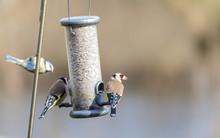 Gold Finch On Feeder