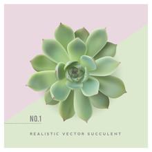 Realistic Vector Illustration Of A Succulent Plant (echeveria), Top View