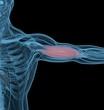 Medical muscle illustration of biceps. 3d illustration