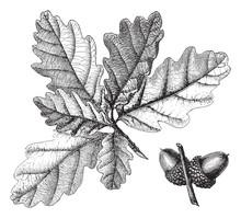 Downy Oak (Quercus Pubescens) / Vintage Illustration