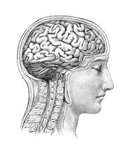 Human Brain / Vintage Illustration