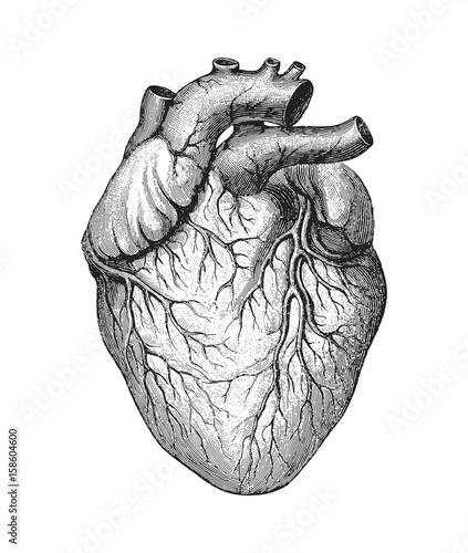 Carta da parati Human heart / vintage illustration
