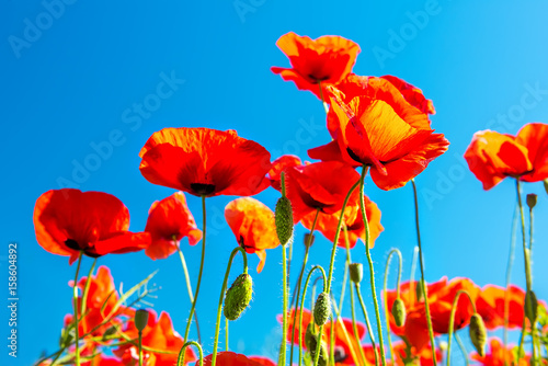 Flowering scarlet poppies against the blue sky. Sunny bright day.