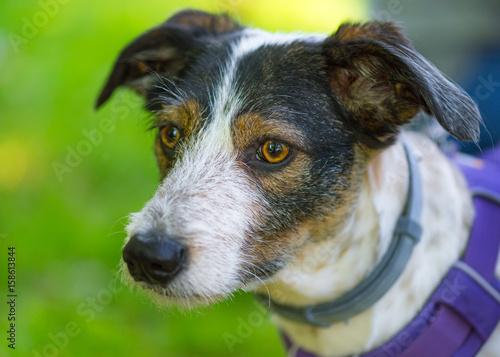 Foto  Porträt des entzückenden Mischzuchthundes mit großen Augen und den Ohren