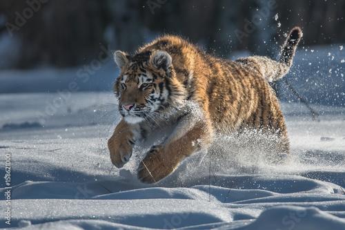 Foto auf Leinwand Luchs Siberian Tiger in the snow (Panthera tigris altaica)