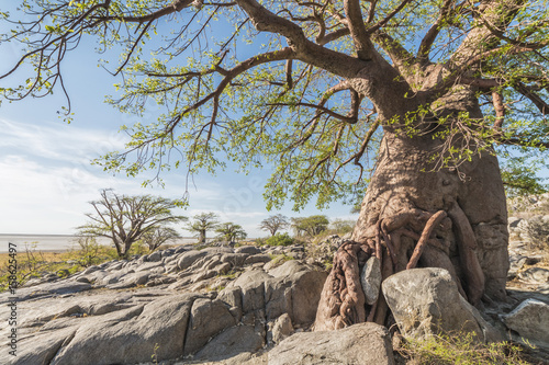 Tuinposter Baobab baobab tree in summer
