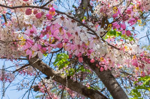 Foto op Plexiglas Magnolia Javanese Cassia