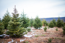 Christmas Trees II